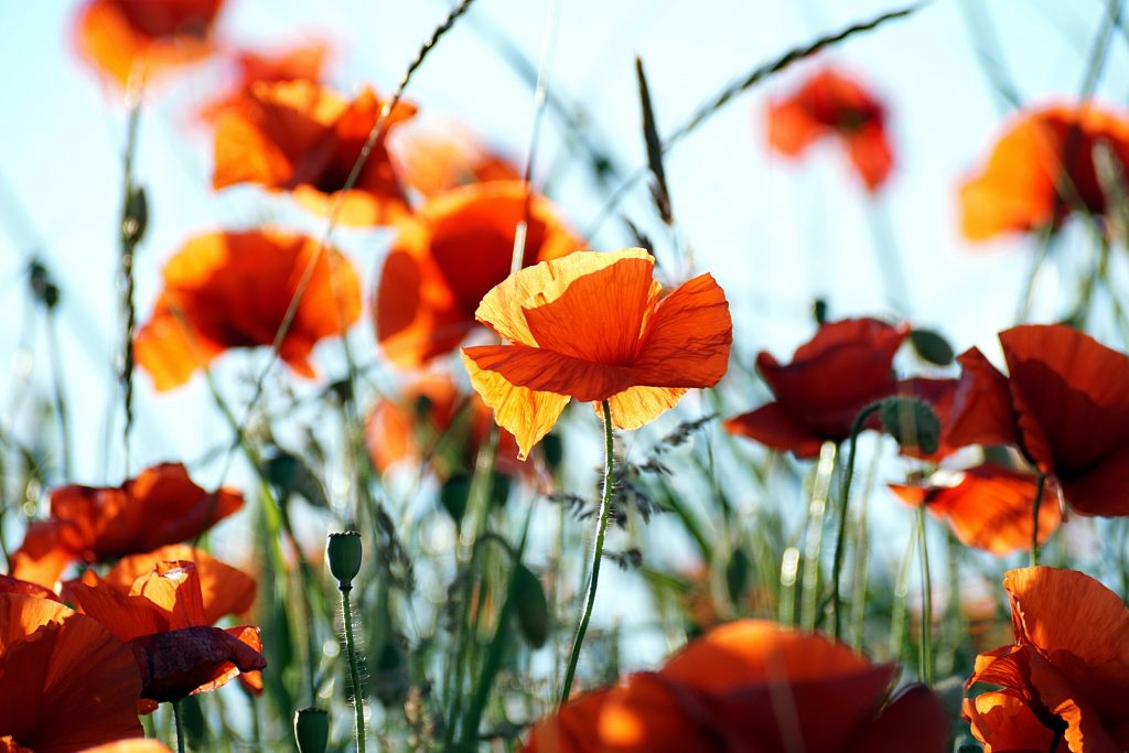 A picture of a poppy in a field. Symbolic of the 'tall poppy syndrome' discussed in which 'draining people' try to stop you from growing tall.